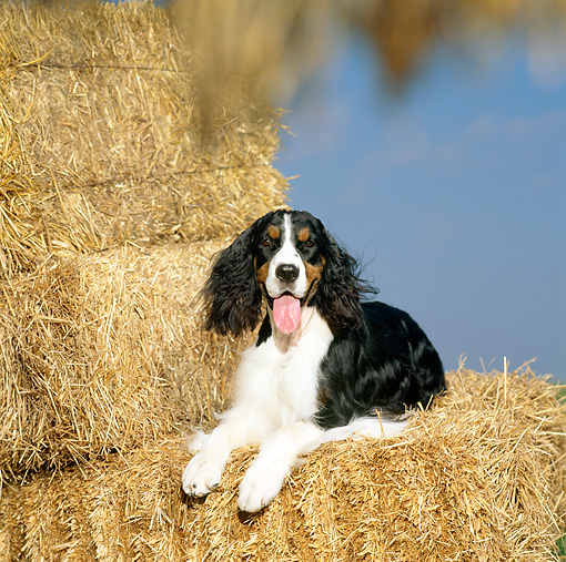 DOG 09 DC0028 01 © Kimball Stock Portrait Of English Springer Spaniel Laying On Hay Bale
