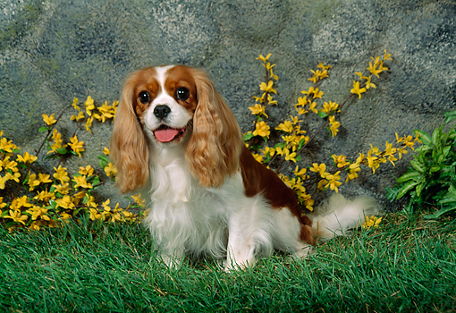 DOG 09 FA0002 01 © Kimball Stock Cavalier King Charles Spaniel Sitting On Grass By Flowers