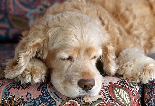 DOG 09 GR0002 01 © Kimball Stock Close-Up Of Cocker Spaniel Sleeping On Couch
