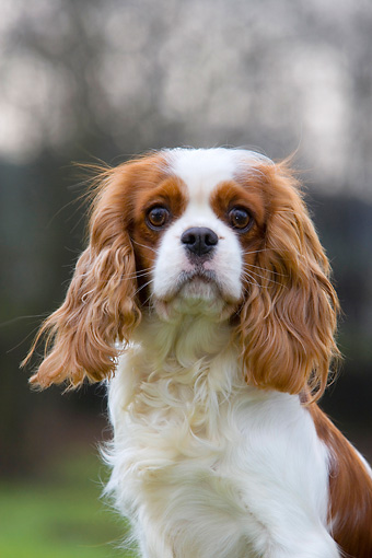 DOG 09 KH0006 01 © Kimball Stock Shoulder Shot of Cavalier King Charles Spaniel