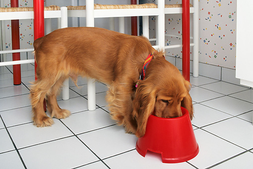 DOG 09 KH0012 01 © Kimball Stock Cocker Spaniel Eating Out Of Red Bowl On Tile Floor