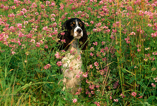 DOG 09 LS0003 01 © Kimball Stock English Springer Spaniel Sitting In Field Of Pink Flowers