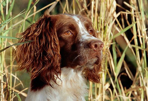 DOG 09 LS0005 01 © Kimball Stock Close Up Of English Springer Spaniel Sitting In Reeds
