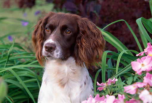 DOG 09 LS0011 01 © Kimball Stock Close-Up Of English Springer Spaniel Sitting By Pink Flowers