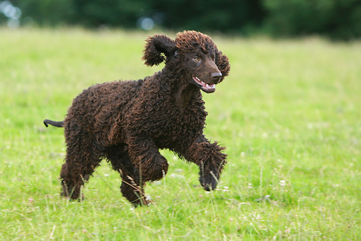 DOG 09 NR0039 01 © Kimball Stock Irish Water Spaniel Running In Field
