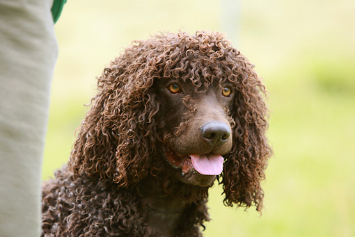 DOG 09 NR0040 01 © Kimball Stock Irish Water Spaniel Head Shot