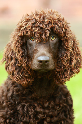 DOG 09 NR0041 01 © Kimball Stock Irish Water Spaniel Shoulder Shot