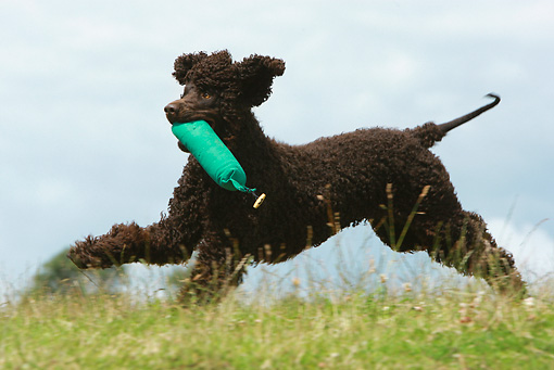 DOG 09 NR0042 01 © Kimball Stock Irish Water Spaniel Running Carrying Green Dummy In Field