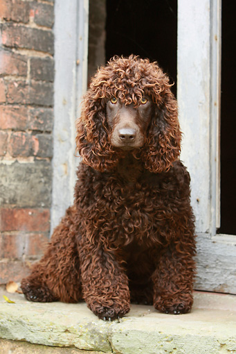 DOG 09 NR0046 01 © Kimball Stock Irish Water Spaniel Sitting On Step In Front Of Brick Building