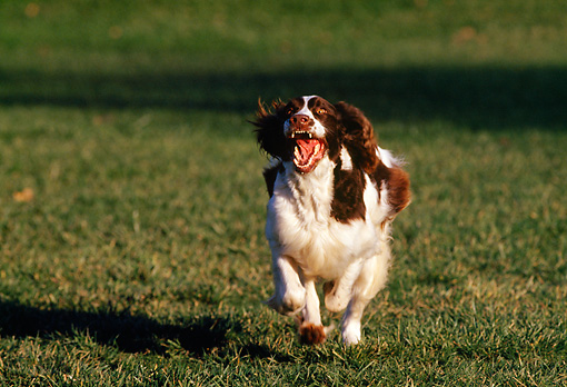 DOG 09 RK0011 06 © Kimball Stock Head On View Of English Springer Spaniel Running On Grass