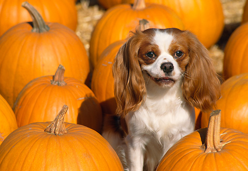 DOG 09 RK0025 03 © Kimball Stock Cavalier King Charles  Spaniel Sitting In Pumpkin Patch