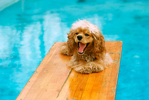 DOG 09 RK0054 01 © Kimball Stock Cocker Spaniel Sitting On Diving Board By Pool