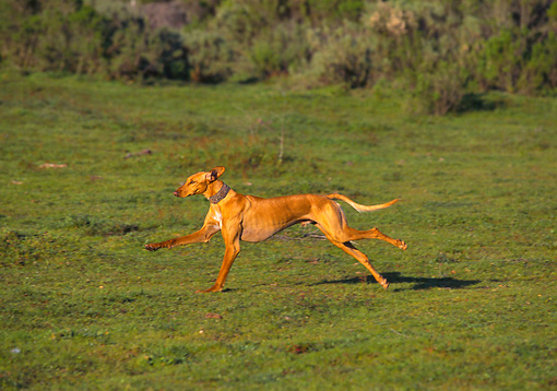 DOG 11 RK0001 09 © Kimball Stock Saluki Running On Grass