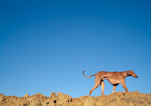DOG 14 AB0004 01 © Kimball Stock Azawakh Walking Along Dirt Hill Against Blue Sky