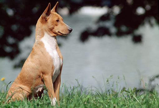 DOG 14 AB0005 01 © Kimball Stock Basenji Sitting Alert In Grass