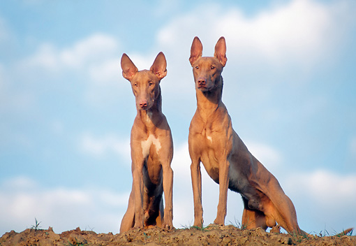 DOG 14 AB0014 01 © Kimball Stock Two Pharaoh Hounds Sitting On Dirt Hill
