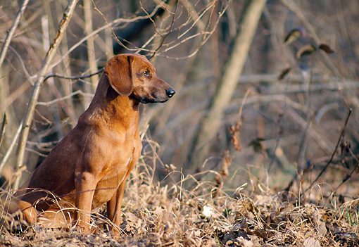 DOG 14 AB0015 01 © Kimball Stock Tyrolean Hound Sitting In Woods