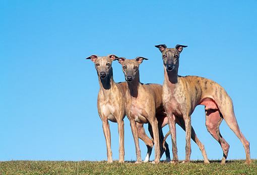 DOG 14 AB0016 01 © Kimball Stock Three Whippets Standing On Grass Against Blue Sky