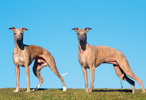 DOG 14 AB0017 01 © Kimball Stock Two Whippets Standing On Grass Against Blue Sky