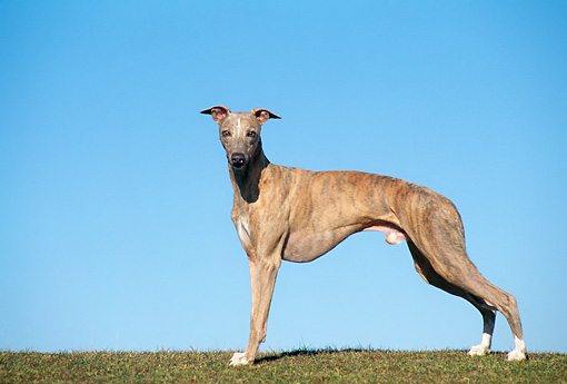DOG 14 AB0018 01 © Kimball Stock Whippet Standing On Grass Against Blue Sky