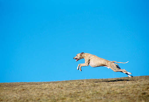 DOG 14 AB0020 01 © Kimball Stock Whippet Running On Grass Field Against Blue Sky