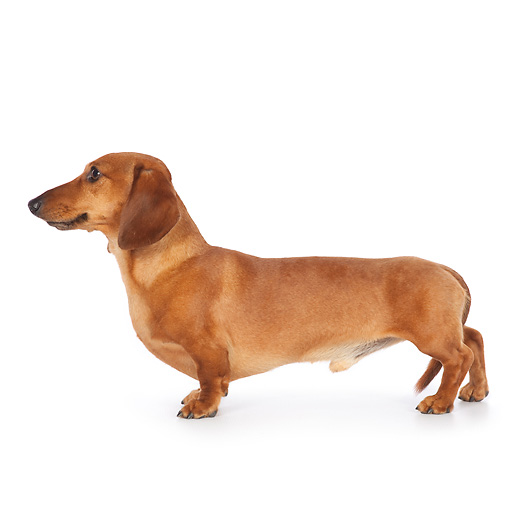 dachshund - Animal Stock Photos - Kimballstock