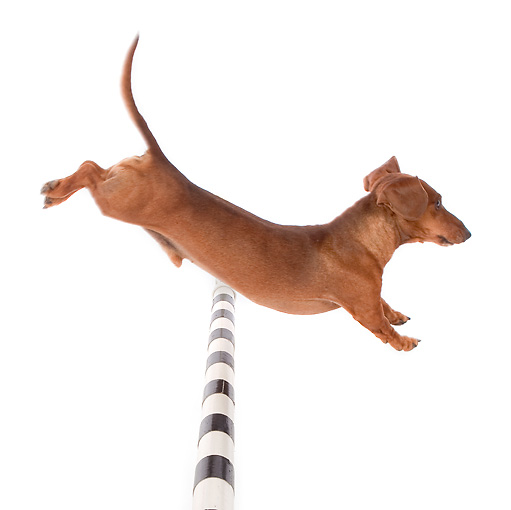 DOG 14 BK0011 01 © Kimball Stock Smooth Coat Dachshund Jumping Over Pole On White Seamless Profile