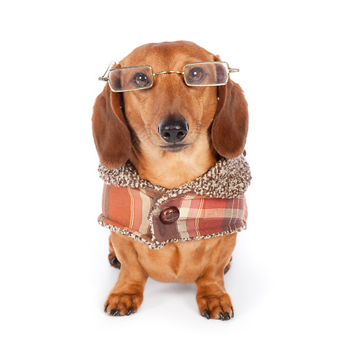 DOG 14 BK0013 01 © Kimball Stock Smooth Coat Dachshund Wearing Glasses And Sweater On White Seamless