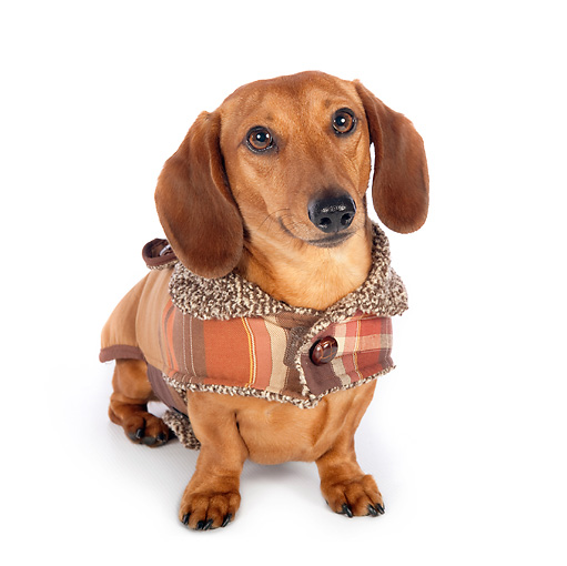 DOG 14 BK0014 01 © Kimball Stock Smooth Coat Dachshund Wearing Sweater On White Seamless