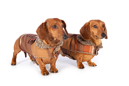 DOG 14 BK0015 01 © Kimball Stock Smooth Coat Dachshunds Wearing Sweaters On White Seamless