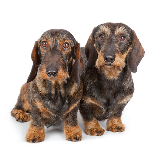 DOG 14 BK0020 01 © Kimball Stock Wirehaired Dachshunds Sitting On White Seamless