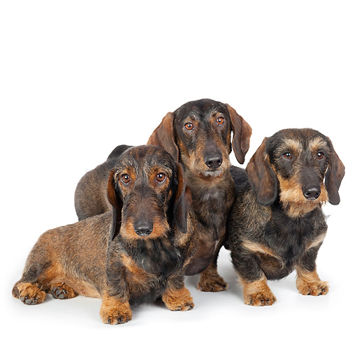 DOG 14 BK0021 01 © Kimball Stock Wirehaired Dachshunds Sitting On White Seamless
