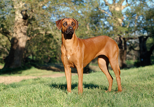 DOG 14 CB0007 01 © Kimball Stock Rhodesian Ridgeback Standing On Grass