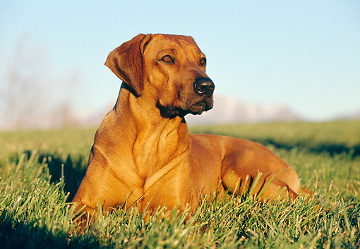 DOG 14 CB0010 01 © Kimball Stock Rhodesian Ridgeback Laying In Grass