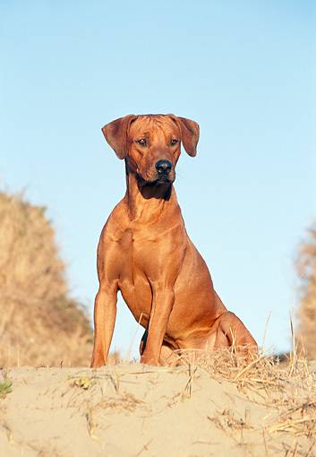 DOG 14 CB0017 01 © Kimball Stock Rhodesian Ridgeback Sitting In Sand