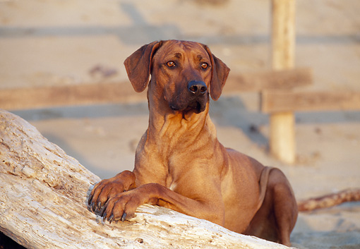 DOG 14 CB0019 01 © Kimball Stock Rhodesian Ridgeback Laying On Sand And Log