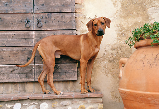 DOG 14 CB0023 01 © Kimball Stock Rhodesian Ridgeback Standing On Brick Step