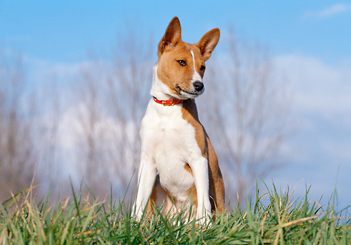 DOG 14 CB0024 01 © Kimball Stock Basenji Sitting On Grass