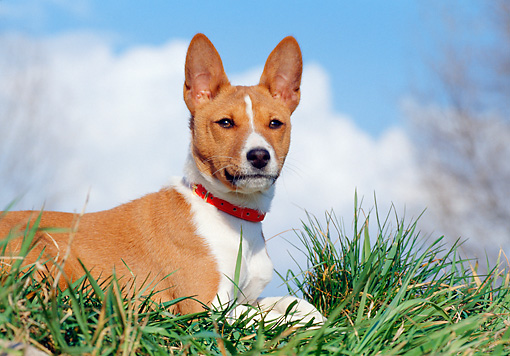 DOG 14 CB0025 01 © Kimball Stock Close-Up Of Basenji Laying On Grass