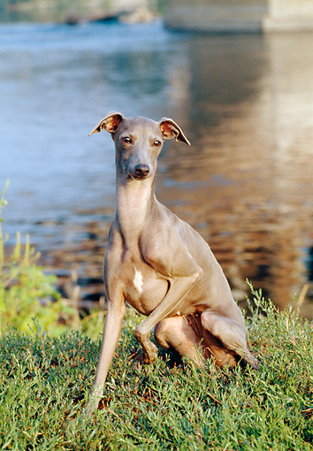 DOG 14 CB0034 01 © Kimball Stock Italian Greyhound Sitting On Grass By Water