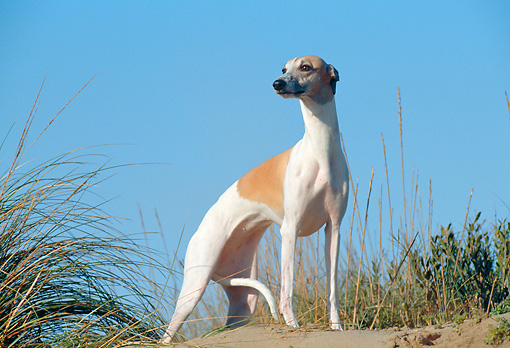 DOG 14 CB0036 01 © Kimball Stock Whippet Standing On Sand And Grass