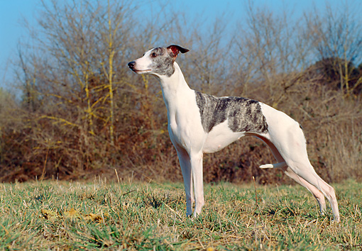 DOG 14 CB0037 01 © Kimball Stock Whippet Standing On Grass Profile
