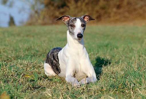 DOG 14 CB0038 01 © Kimball Stock Whippet Laying On Grass