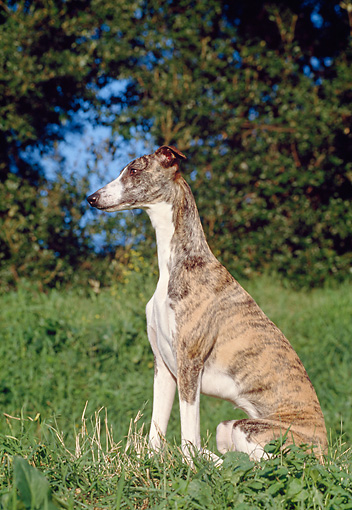 DOG 14 CB0039 01 © Kimball Stock Whippet Sitting On Grass Profile