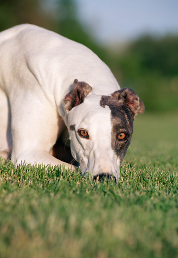 DOG 14 CB0040 01 © Kimball Stock Portrait Of Greyhound Resting On Grass