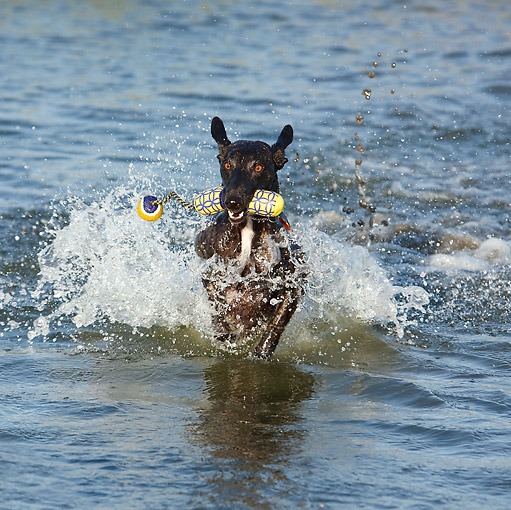 DOG 14 CB0053 01 © Kimball Stock Whippet Emerging From Water With Toy
