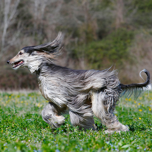 DOG 14 CB0054 01 © Kimball Stock Afghan Hound Running In Grass