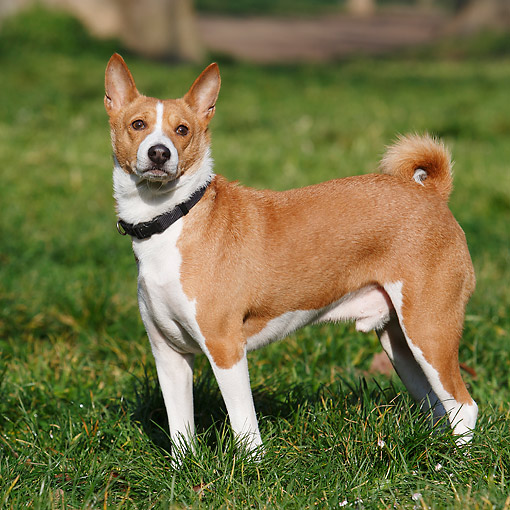 DOG 14 CB0055 01 © Kimball Stock Basenji Standing In Grass