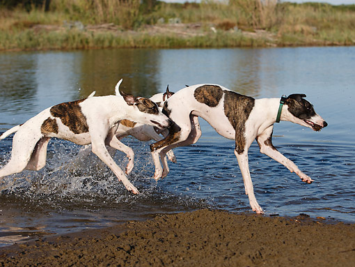 DOG 14 CB0062 01 © Kimball Stock Whippets Running In Water