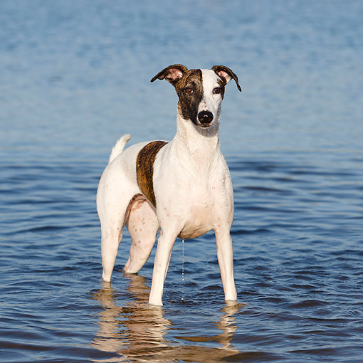 DOG 14 CB0064 01 © Kimball Stock Whippet Standing In Water